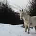 WILD WHITE HORSE IN WINTER