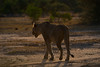 DSC_2668.jpg (Mike/Claire) Tags: lioness 2016 southafrica tandatula timbavati