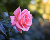 2017 Autumn Rose (shinichiro*@OSAKA) Tags: 20171121sdqh1797 2017 crazyshin sigmasdquattroh sdqh sigma1835mmf18dchsm november autumn rose yokohama kanagawa 横浜イングリッシュガーデン バラ ピンク japan jp 38572666841 1991573 201711gettyuploadesp