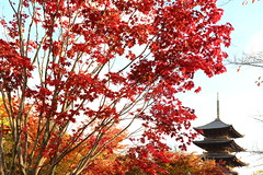 MOMIJI and PAGODA (Teruhide Tomori) Tags: 東寺 京都 洛南 日本 もみじ 紅葉 秋 庭園 五重塔 教王護国寺 古寺 afternoon kyoto japan japon toji pagoda garden autumn momiji kayedemaple architecture construction temple tree red sky