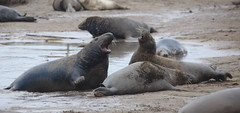 Squaring up. (Chris Firth of Wakey.) Tags: donnanook greyseal seals lincolnshire