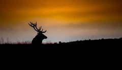 Red Deer Silhouette (Peter Quinn1) Tags: sunrise sihouette reddeer bigmoor derbyshire peakdistrict darkpeak easternmoorspartnership easternmoors rut stag