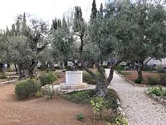 5 - Getszemáni kert / Getsemanská záhrada