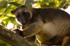 Lumholtz Tree-kangaroo (Caleb McElrea) Tags: athertontableland farnorthqueensland wettropicsofqueensland worldheritagearea unesco queensland australia rainforest tropical hot biodiversity wildlife wildlifephotography neradateafarm lumholtztreekangaroo treekangaroo macropod arboreal cute marsupial mammal rare
