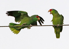 Red-crowned Parrot (1krispy1) Tags: redcrownedparrot parrot texasbirds