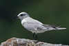 Gull-billed Tern (Simon Stobart) Tags: gullbilled tern gelochelidon nilotica sat rock ngc npc