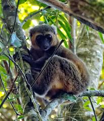 Golden (LeftCoastKenny) Tags: madagascar day7 ranomafananationalpark trees lemur