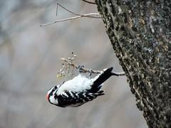 topsy turvy.....thank you EXPLORE! (rdedks2011) Tags: bird nature woodpecker blackandwhite kansas
