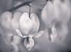 Bleeding Hearts 1 (ascholtz101) Tags: 2017 adobelightroomclassiccc andrewscholtz nikonafmicronikkor60mmf28d nikond7200 ascholtz101 bw blackwhite blackandwhite bleedingheart bleedinghearts bokeh flower flowers macro macrophotography mono monochromatic monochrome naturallight outdoors outside shallowdepthoffield shallowdof spring sun sunny toned toning