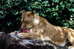 Lunch in the sun (gina.nicole.tesloff) Tags: sun summer lion wildlife woodland warm enchanting exotic rock texture outdoors ominous pattern pretty perspective plant artistic animal afternoon shadow sunlight detail depth fluffy glow graceful hot light life zoology canon contrast colour colourful cute creature clever view beautiful bright brown beauty nature natural mammal