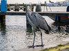 Why are you looking at me? (✦ Erdinc Ulas Photography ✦) Tags: reiger bird volendam angry vogel netherlands holland nederland heron ardeidae panasonic city harbour meer lake haven stad boos wood yellow veer feather animal