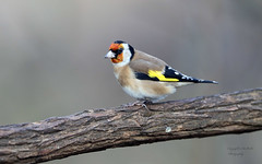 Goldfinch (Pikingpirate1) Tags: goldfinch finch ngc wild rspb
