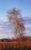 Diagonal (Saptashaw Chakraborty) Tags: canada ontario whitby winter canon 6d sigma 150600contemporary lyndeshoresconservationarea panorama vertorama vertical tree red birch landscape sunset