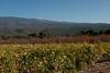 Le ventoux  sous ses couleurs d'automnes (Fabrice Koeller) Tags: fab isa ventoux vigne