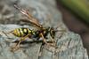 European Paper Wasp (Explored) (strjustin) Tags: europeanpaperwasp paperwasp wasp bee