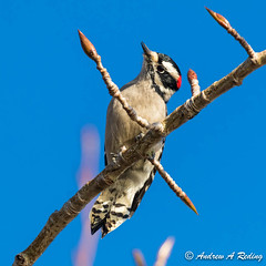 male downy woodpecker (Andrew Reding) Tags: dryobatespubescens