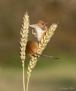 Harvest mice.