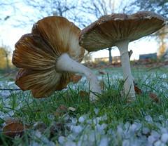 P1140135 (Guesscl) Tags: champignons gelée grêlons verdure végétation jardins couleurs macro inexplore nikonpassion