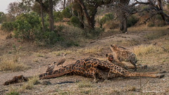 Spotted Hyena (Crocuta crocuta) (Hernan Linetzky Mc-Manus) Tags: savannah savana southafrica africa sudafrica animal safari natgeo ng wild camp manyeleti limpopo honeyguide linetzky big5 nikon nature mammal bird animals wildlifephotography pilanesberg nikonphotography photos wildanimals africannature naturaleza salvaje mammals mamiferos jirafa giraffe hiena hyenas hyena hunting
