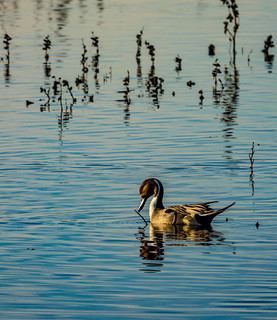 Northern Pintail (Anas acuta) at the Wetlands