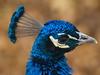 Peacock (dennisgg2002) Tags: bronx zoo new york city ny nyc peacock peafowl bird blue