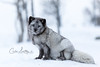Just sitting here.... (CecilieSonstebyPhotography) Tags: bokeh portrait fox winter endangered closeup canon snow norway january fur beautiful langedrag canon5dmarkiii pretty fiurry animal markiii bluefox specanimal