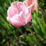 Toronto Ontario ~ Canada ~ Edwards Gardens ~ Botanical Garden - Pink Tulip thumbnail
