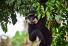 southern white-cheeked gibbon (arcibald) Tags: salavan saravan whitecheekedgibbon gibbon taoy southernwhitecheekedgibbon
