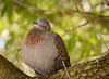 Who let the cat out? (chrys goote) Tags: africanrockpigeon columbaguinea columbidae pigeon speckledpigeon