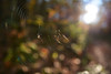 Autumn frame (OrkoLuca) Tags: aracne febo arachne phoebus tela frame web tableau fall autumn autunno automne macro ragno spiderar aignée canavese nikond7100 sigma1835 1835 sigma colori colours couleurs bosco wood bois fogliame tronchi leaves feuilles trunk tronco sottobosco legno wooden spider aragnée luce light sun sole
