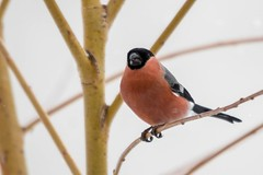 Il neiiiiige ! (PierreG_09) Tags: seix ariège pyrénées pirineos couserans jardin neige hiver faune oiseau bouvreuilpivoine pyrrhulapyrrhula eurasianbullfinch passériformes fringillidés gimpel camachuelocomún