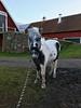 Vill inte gå ut i leran… (Patrick Strandberg) Tags: sweden östergötland bergagård freyda freydafrånblixtorp icelandichorse islandshäst horse häst iphone iphone7