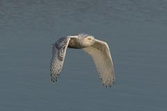 Snowy Owl on the Hunt (Bill VanderMolen) Tags: snowyowl owl snowyowlirruption michigan birdinflight owlinflight snowyowlinflight fishpointswa