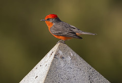 Vermilion Flycatcher (Hockey.Lover) Tags: vermilionflycatcher birds maxwellcemetery explore