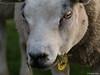 Psycho Sheep (✦ Erdinc Ulas Photography ✦) Tags: sheep schaap dier psycho wol grass eating eten eye focus gras oog konica dutch netherlands nederland holland crazy gek