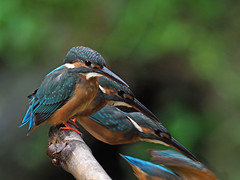 Common Kingfisher (ChongBT) Tags: nature natural outdoor animal bird wildlife wild common kingfisher alcedo atthis bengalensis landscape horizontal perching perch bamboo twigs composite diving