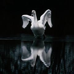 Swan (Dannis van der Heiden) Tags: swan morning darkbackground zoom sigma18300mm slta58 schammer naturepark spreadedwings amersfoort leusden bird water netherlands