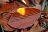 High Light (gripspix (OFF)) Tags: 20171021 swabianalb schwäbischealb herbst fall buchenblatt beechleaf brown braun fallleaf herbstlaub highlight vondersonneerleuchtet
