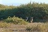 Deer grazing in the dunes. (openspacer) Tags: añonuevostatepark deer dune salicaceae salix tree willow