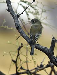 Desert Wildlife - Least Flycatcher (Jeffrey Neihart) Tags: jeffreyneihart wildlife nikond7200 nikkor nikonnikkor300mmf4epfedvr kartchner statepark nikon d7200 300f4pfedvr 300mm f4e pf ed vr arizona leastflycatcher