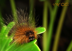 Bad hair day (A. K. Hombre) Tags: minibeast caterpillar tussockmoth invertebrate lepidoptera urticatinghairs lymantriidae macro dof depthoffield fuzzy spines larva