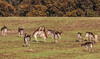 just practising (Paul Wrights Reserved) Tags: fallowdeer deer fallow fighting dancing herd togetherness mammals waltz slowdance dance practising youngbucks rutting