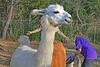 An armed llama. (Spudmaniac) Tags: llama augusta