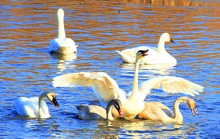tundra swans calling near Brownsville MN 854A6978