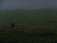 Tea Picking (heather_mcculloch) Tags: teapicking todavillage india coonoor toda