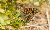 _U7A8915 (rpealit) Tags: scenery wildlife nature hyper humus painted lady ovipositing butterfly