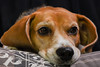 Febee (Guillaume7762) Tags: chien beagle dog hund chasse tristesse desespoir mignon tendre doux