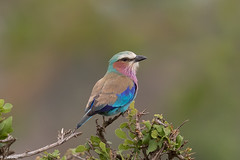 Rollier à longs brins (Coracias caudata) - Lilac-breasted Roller (jf Pascal) Tags: serengetinationalpark tanzania rollieràlongsbrins coraciascaudata lilacbreastedroller