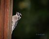 Downy Woodpecker (Picoides pubescens) (ausmc_1) Tags: yard november portalberni tamron70200dispusdvc d800 sb900 birds downywoodpeckerpicoidespubescens canada 2017 britishcolumbia vancouverisland feeder