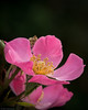 Pink! (The Frustrated Photog (Anthony) ADPphotography) Tags: category england flora luton places canon70d canon sigma105mmmacro flower plant petals closeup closefocus narrowdepthoffield narrow colourful minaturerose macrodreams macro bright